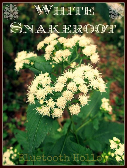 56 best nature images on pinterest blue tooth bluetooth and wednesday wednesdays wildflower white snakeroot ageratina altissima identification nomenclature medicinal uses fandeluxe Images