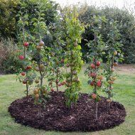Columnar Fruit Trees only need 90cm between them, which means you can get a nice little orchard in a small space.