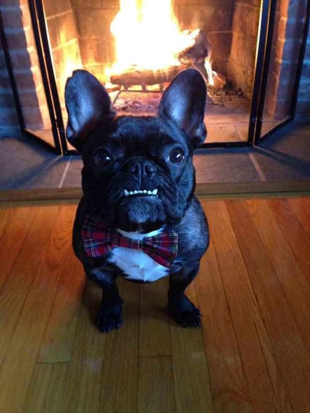 This underbite. | 50 Adorable Reasons That 2013 Was The Year Of The French Bulldog