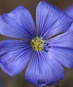 Flachsblume - gemeiner Lein (Linum usitatissimum)