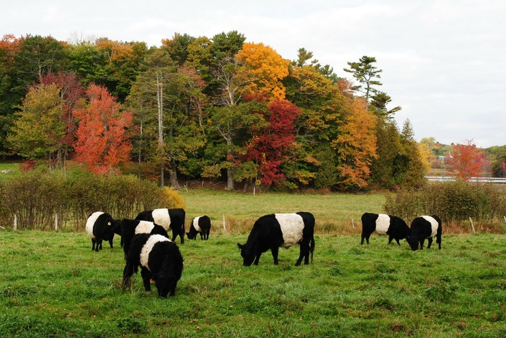 Rockport, Maine - I loved seeing these cows on the side of the road. They use to have some Scottish cows (the big shaggy ones) years ago on hwy 1