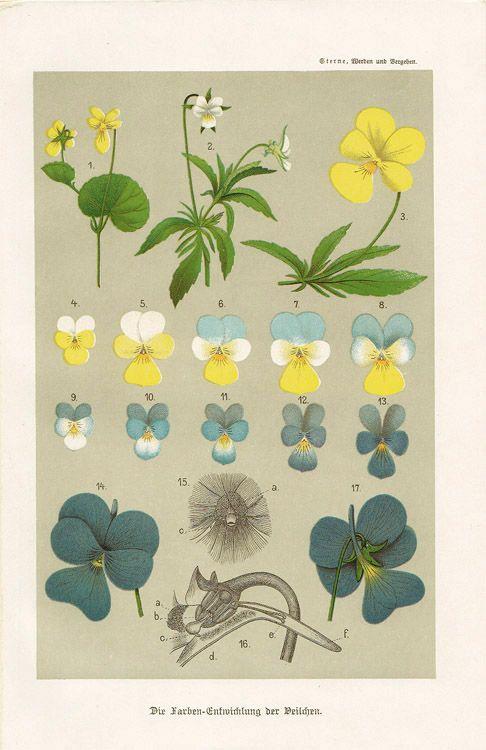 120年以上前にドイツで出版された博物学書からの一葉。クロモリトグラフ(多色石版)による印刷で、かわいらしいスミレが描かれています。パラフィン付き。size : 15.6cm x 23.5cmcond…