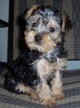 #Yorkiepoo Puppy 9 Weeks (looks like our new puppy! )