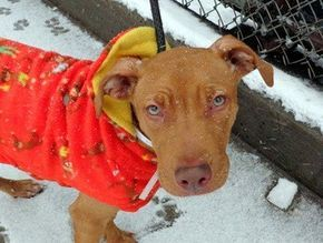 ***RESCUED: NOW NEEDING A HOME!!***★ ITTY-BITTY POCKET PITTIE!!! ★ NAME: ROXIE AGE: 2 YEARS OLD BREED: PIT MIX WEIGHT: 28 LBS LOCATION: EAST WINDSOR, NJ