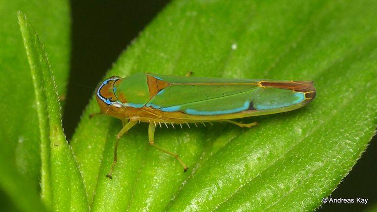 https://flic.kr/p/23uPFFL | Leafhopper, Cicadellidae | from Ecuador: www.flickr.com/andreaskay/albums