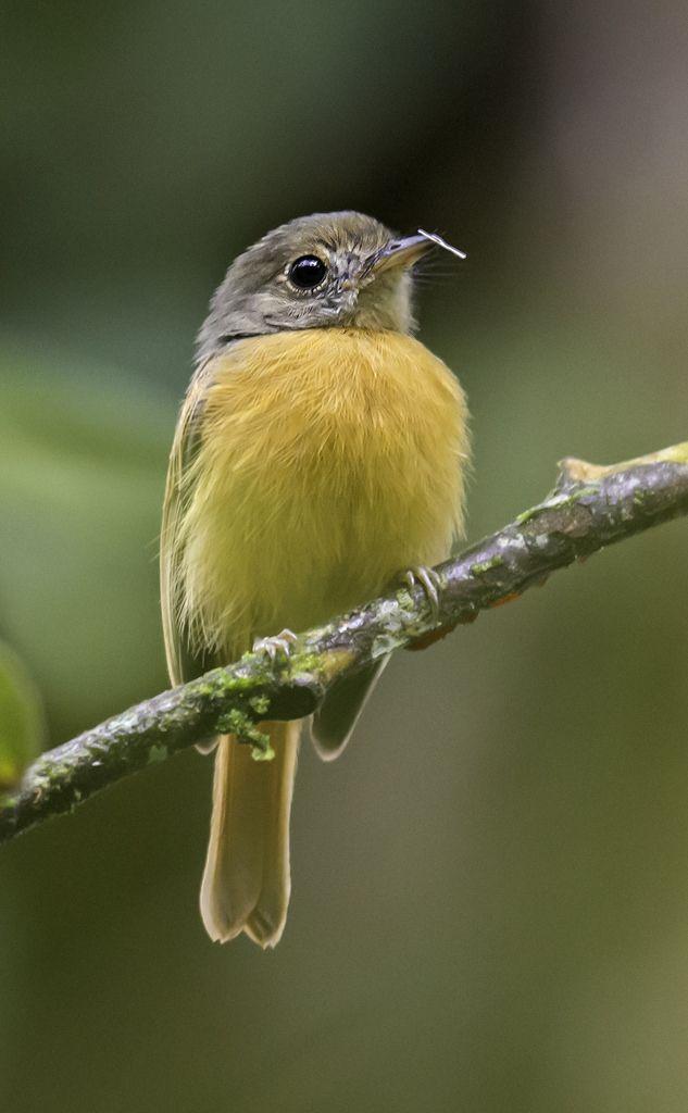 チビタイランチョウ Ruddy-tailed Flycatcher (Terenotriccus erythrurus)