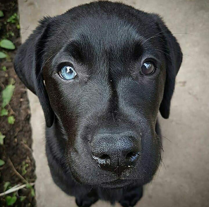 Labradorretriever Labrador Dogsofinstagram Labsofinstagram Dogs Dog Of Labs Puppy Lab Labrador Retriever Labrador Puppy Black Labrador Retriever