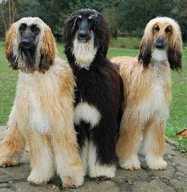 Sims 3 Afghan Hound Best 25+ Afghan hound ...