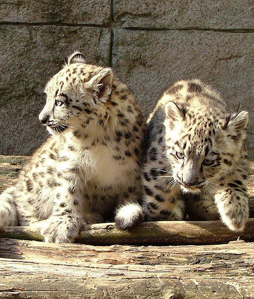 Two snow-leopard cubs born at the Akron Zoo in May just made their first public appearance. The cubs will get to explore their enclosure for the first time under the watchful eye of their mother, Shanti.