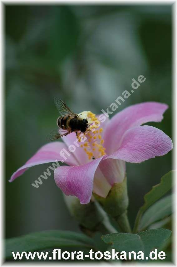 FLORA TOSKANA: Lagunaria patersonii - Norfolk-Hibiskus FLORA TOSKANA - Die Pflanzenwelt des Südens