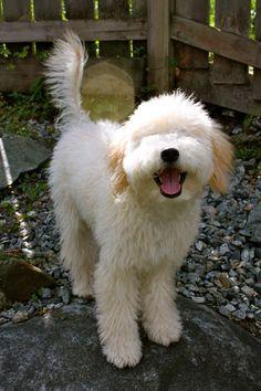 wheaten terrier poodle mix - Google Search