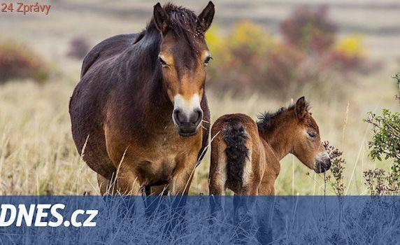 Divocí koně se mohou Ralskem prohánět už za rok, ušetřili by za sekání