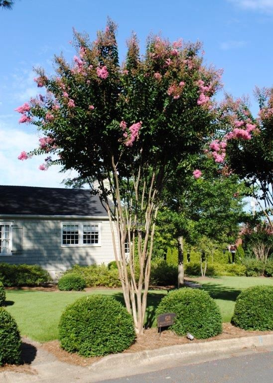 LS - Lagerstroemia 'Sioux' (Sioux Crape Myrtle)