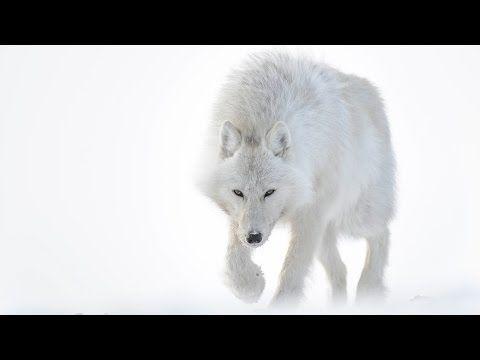 Incrível Vídeo da Viagem de um Fotógrafo pelo Ártico com Lobos, Raposas e Ursos Polares | O Único Planeta que Temos