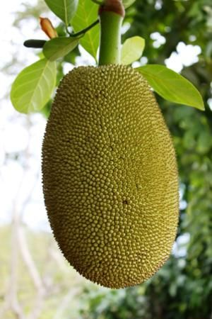 Jackfruit is remarkably similar in texture to chicken or pulled pork, making it an excellent vegetarian substitute for meat. Find out how to buy it, prepare it, and cook it for the best possible meat substitute for vegans/vegetarians!