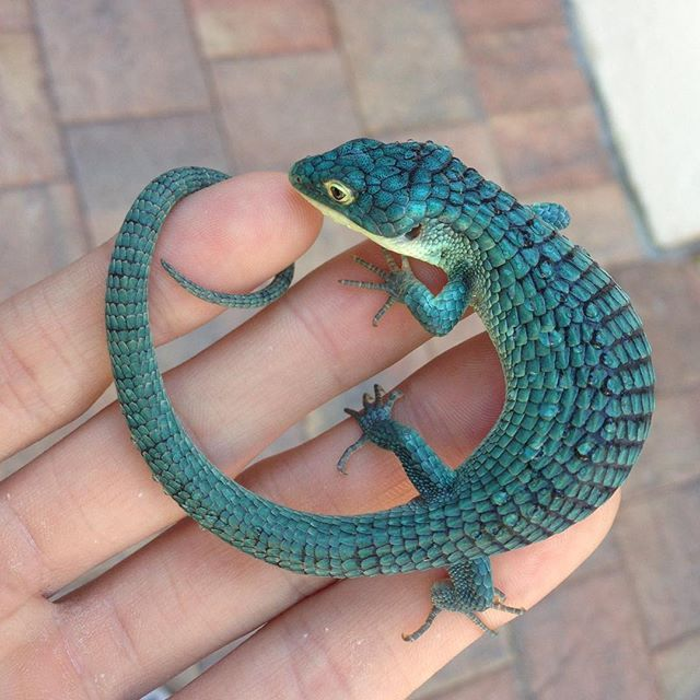 Mexican alligator lizard (a.k.a Abronia) looking great but would not recommend for beginners