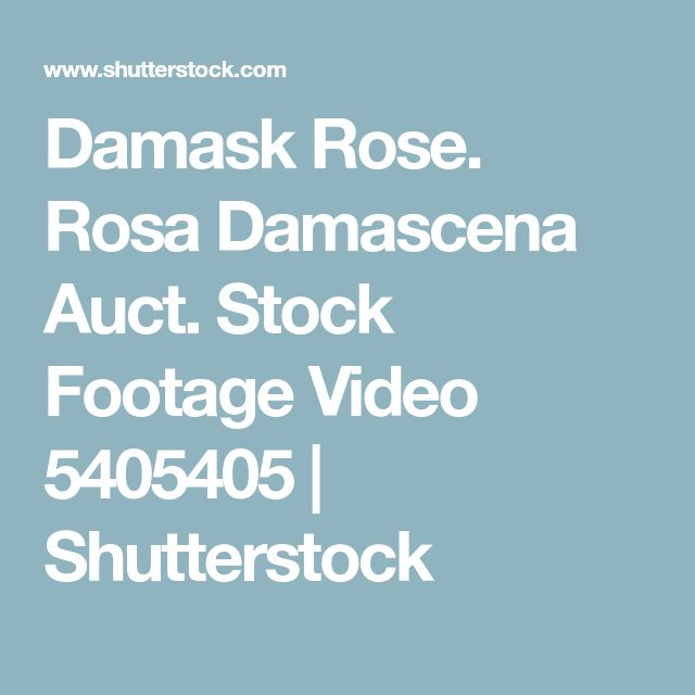Damask Rose. Rosa Damascena Auct. Stock Footage Video 5405405 | Shutterstock