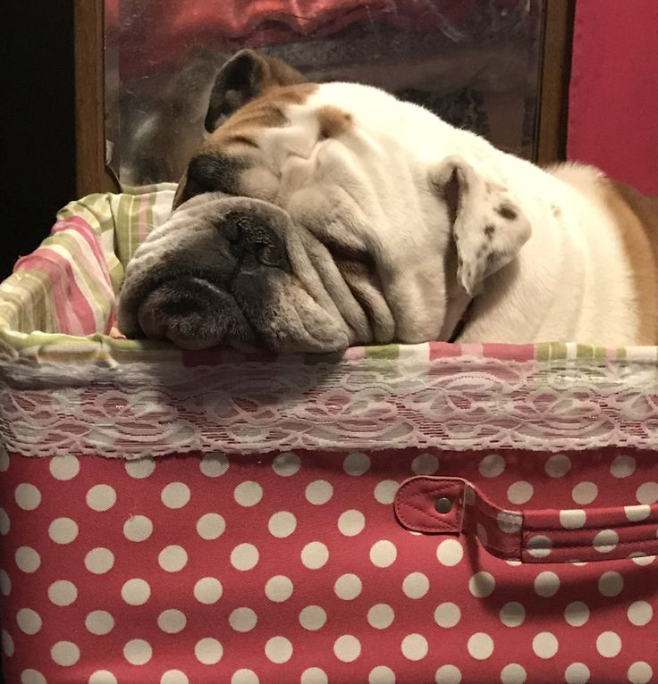 English Bulldog loving his suitcase dog bed