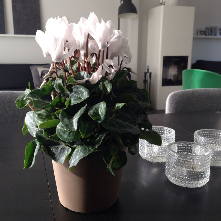 Iittala votives and a cyclamen brightens the fall.