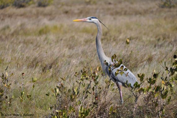 Great Blue Heron by photosbytyler on Etsy