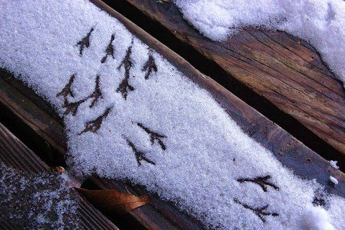 snowy footprints from the birds