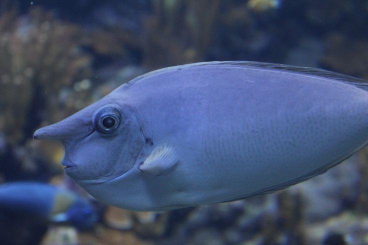 Unicorn Fish,Hawaii Sea Life I have encountered Pinterest