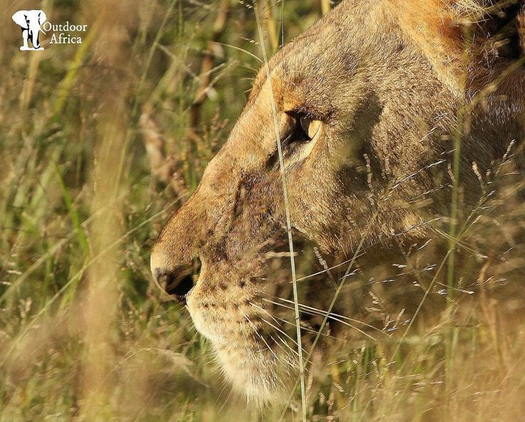 If only to see through those eyes. - Lioness in the tall grass Pilanesberg National Park March 2017 . Spied her spying on safari with Outdoor Africa http://ift.tt/1TKSVzb . #OutdoorAfrica #ThisIsSouthAfrica #VisitSouthAfrica  #ExperienceSouthAfrica #SafariSouthAfrica #SouthAfricanSafari #Safari #Africa #WePlanSafaris #CustomSafaris #TakeMeToAfrica #ForeverSouthAfrica #MeetSouthAfrica #pilanesberg_ #pilanesberg #lion #lioness #inthegrass #stare #perfect