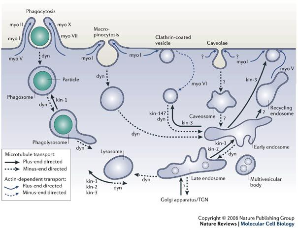 Powering membrane traffic in endocytosis and recycling