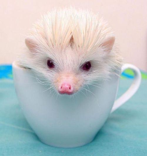 A charming leucistic eyed hedgehog!