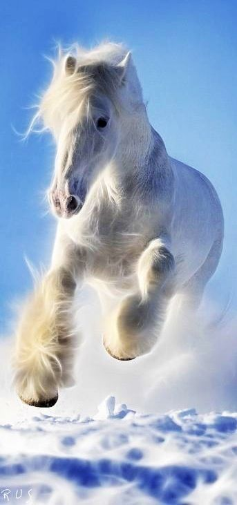 Beautiful White Friesian Galloping Through Deep Snow.