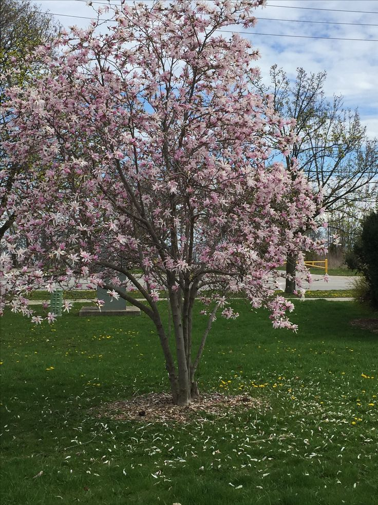 Spring came to Oakville, Ontario! Magnolia in bloom.