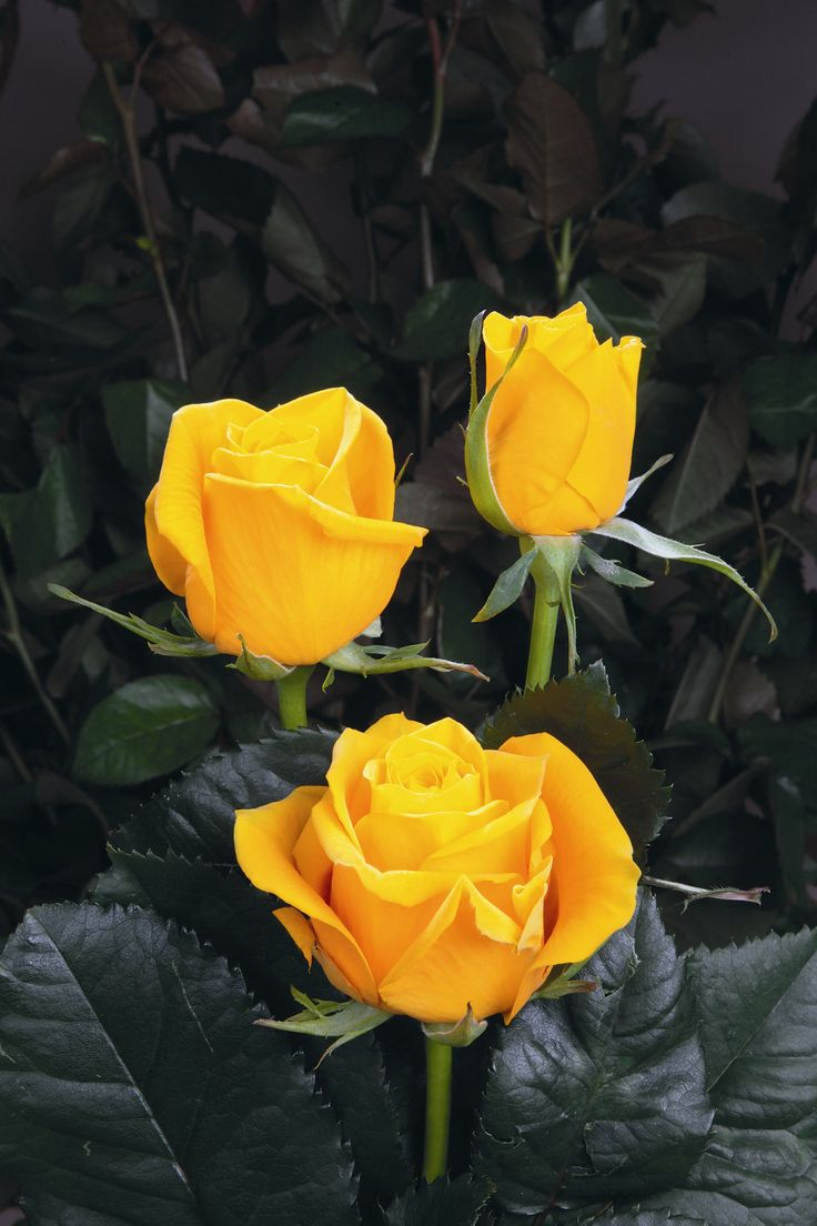 Rose 'Omara', Rosen Tantau-Tan10208  http://www.rosen-tantau.com/cms/index.php?article_id=544&clang=1