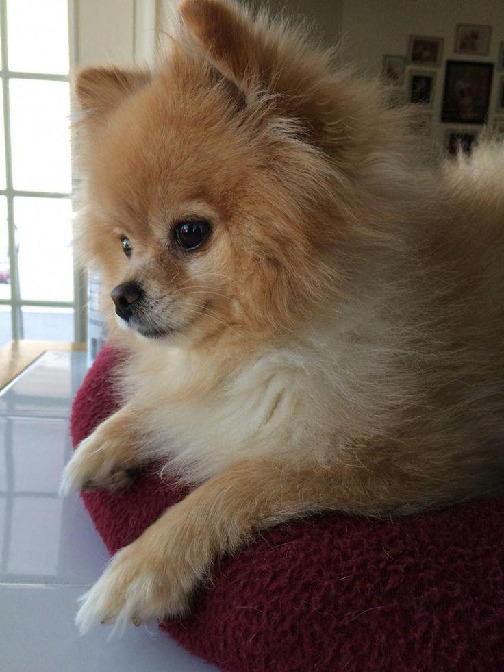 Pomeranian Funny   – Animals, mammals, and sea life…