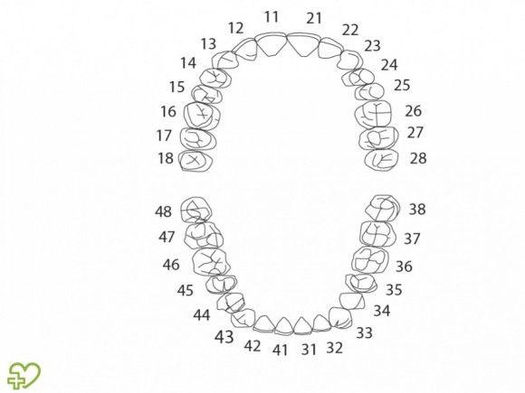 Pin Em Anatomia Dental
