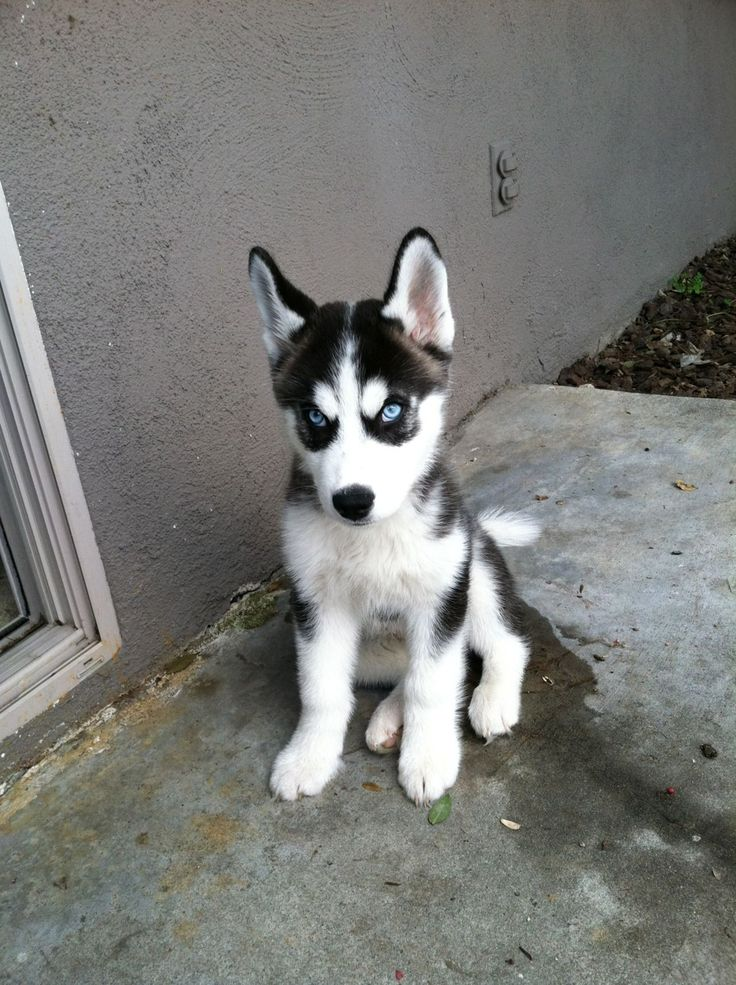 What an adorable, guilty looking little face!  Siberian Husky puppy.
