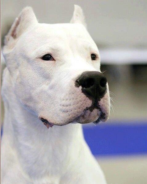 Dogo Argentino, Best breed hands down!!