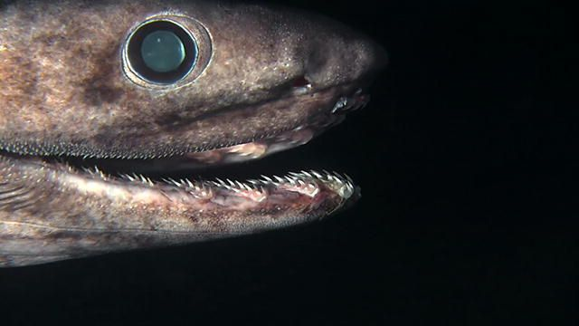 http://www.discovery.com/tv-shows/shark-week/videos/alien-sharks-the-frilled-shark/