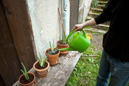 Aloe Vera cuidados de la planta http://www.aloe-vera.es/cuidados-de-la-planta-del-aloe-vera/