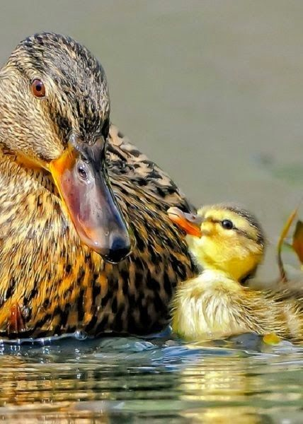 Mallard hen and offspring