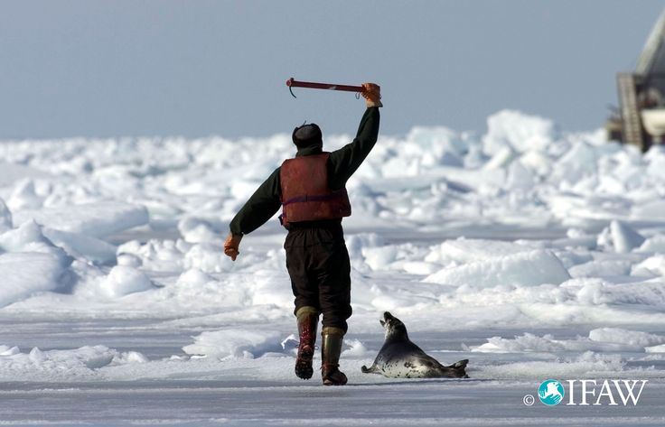A sealer moves in to kill a seal pup with a hakapik – a spiked club. Description…