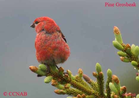 An adult Pine Grosbeak Newfoundland, Canada