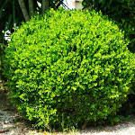 3 Gal. - American Boxwood -Classic Evergreen Shrubs ...
