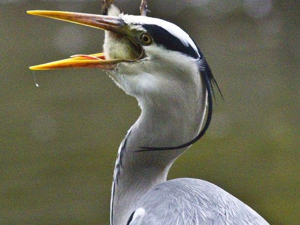 A garça-real-europeia geralmente se alimenta de peixes e anfíbios. Dificilmente ataca pequenos mamíferos e outras aves.
