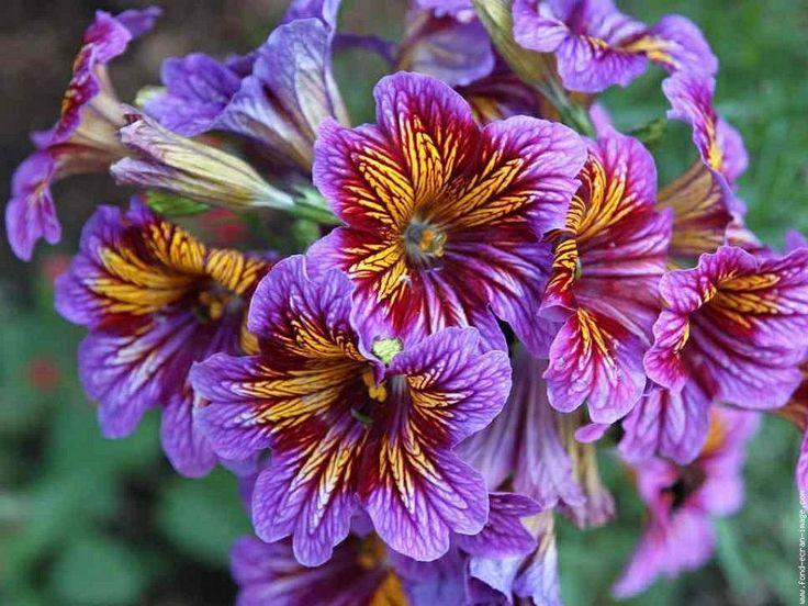 Salpiglossis Bloomin Beauty Pinterest