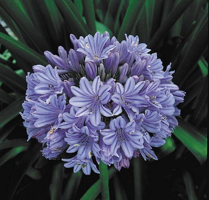 flor azul jardim secreto : flor azul jardim secreto:1000 ideias sobre Agapanthus Africanus no Pinterest