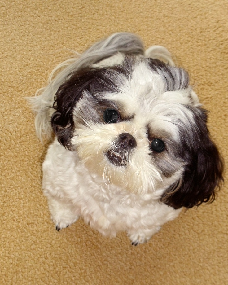 shih tzu puppies for sale long island 3741 best images about shih tzu s on pinterest ragdoll 4832