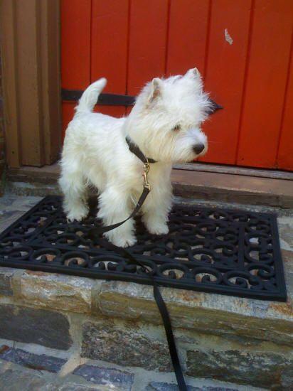 I want a Westie!!!