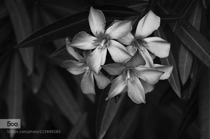 Flores cinzentas by pedrocampos-adv. Please Like http://fb.me/go4photos and Follow @go4fotos Thank You. :-)