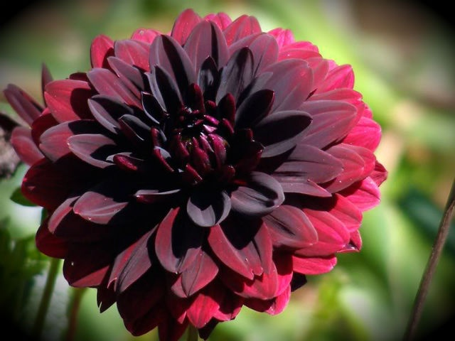 149 best images about devine dahlia on pinterest gardens for Flowers that look like dahlias