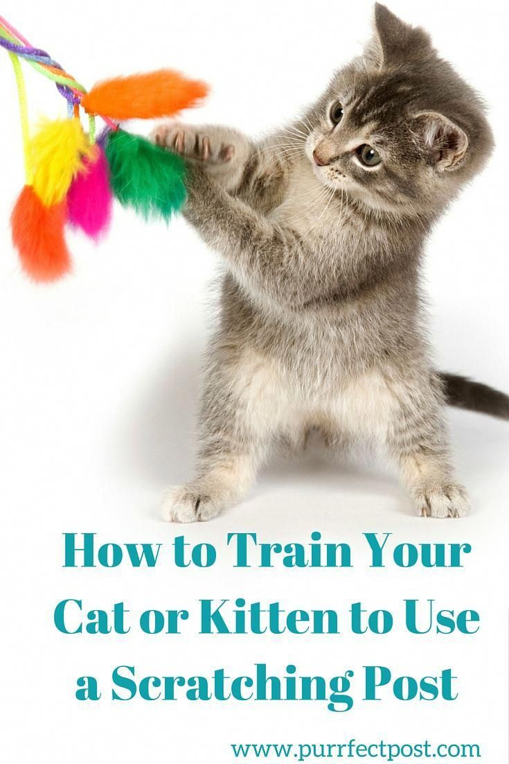 Here Are A Few Tips For Introducing Your Cat To Her New Scratching Post And Training Her To Use It Howtocarefor Cat Training Cat Care Cat Training Scratching